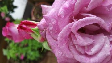 Meine Rose von der Mainau