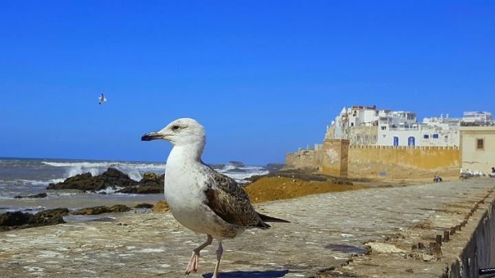 Essaouira Möwe