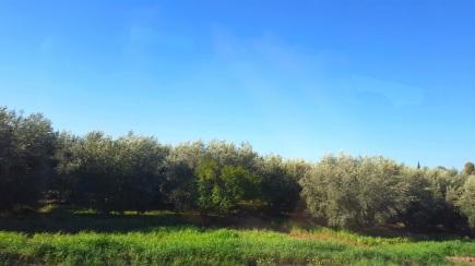 Olivenbäume um Marrakesch