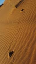 Wüstenmaus Spuren