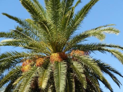 Marrakesch Dattelpalme in der Hivernage