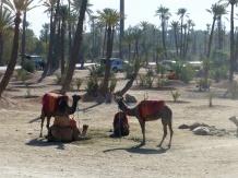 Marrakesch Kamele