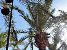 Marrakesch Palme