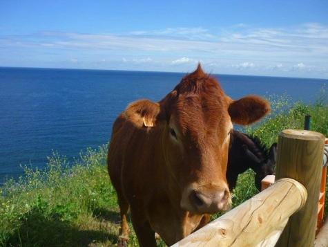 Kühe an der Küste bei Pobena
