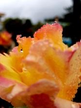 004 Rose