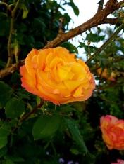 008 Rose