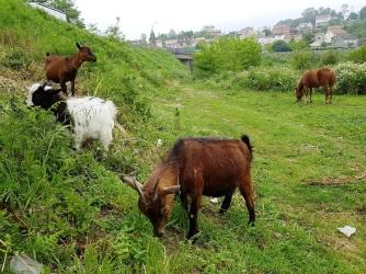 02 Pony und Ziegen vor Padrón