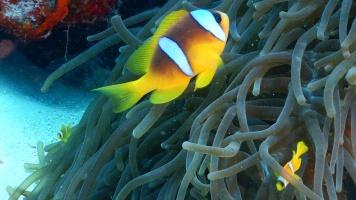 Anemonenfische