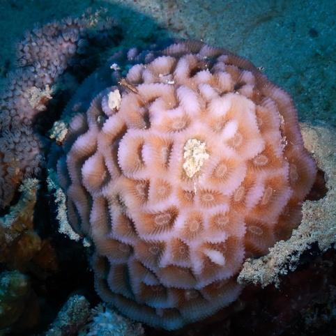 Koralle mit Fisch