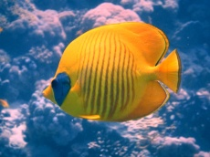 Maskenfalterfisch