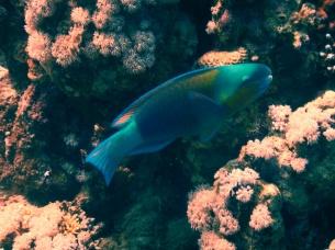 Papageienfisch türkis